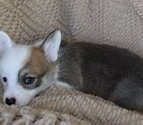 Welsh Pembroke and Cardigan Corgi puppies