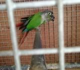 pair of conures