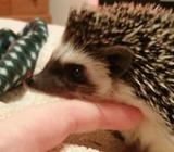 Baby Male African Pygmy Hedgehog For Sale