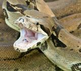 boa constrictor for sale