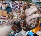 Female cornsnake