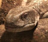 Bosc and gargoyle gecko