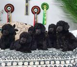 Black standard poodle ikc registered