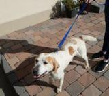 Ikc Kerry beagle