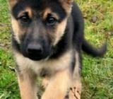 Wanted German shepard or belgian pup
