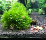 Red Rili Cherry Shrimp