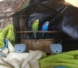 Two young budgies with a cage
