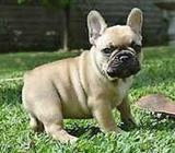 French Female Bulldog Pup Wanted
