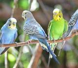 Budgies all colours