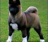 Akita pup wanted
