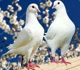 White bird release