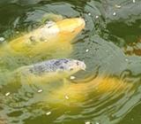 2 koi fish