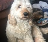 Wanted Cockapoo male
