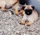 4 male I.K.C stunning PUG puppies