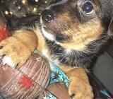 Mini yorkie pup