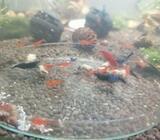 Shrimps neocaridina home made food