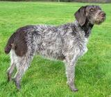 Wanted German Wirehaired Pointer Pup