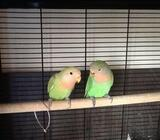 Lovebirds for Sale