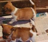Miniture Jack Russel pup for sale
