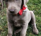 Looking for a silver labrador puppy