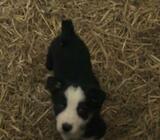 Sheepdog X Collie pup