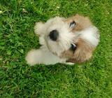 Shih tzu × pup