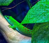 Phelsuma Grandis Day Gecko beautiful BioActive Vivarium