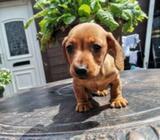 Miniature dachund puppies