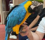 e two beautiful and amazing blue and gold macaws for sale. Male and female.