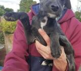 Terrier Puppy for sale