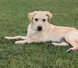 Stunning Male Labrador Puppy