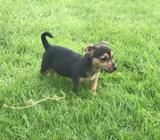 Female Jack Russel Pup