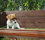 MINIATURE JACK RUSSELL PUPPY AVAILABLE