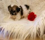 Very cute female bichon cross puppy non shed
