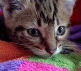 Truffles the Grey Tiger Kitten. - GIVEN AWAY*